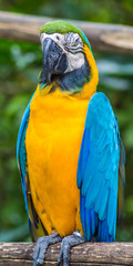 yellow-blue macaw in a zoo