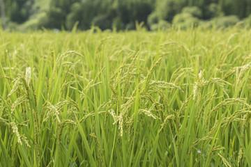 緑の稲穂と風景