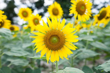 sunflowers in the green garden