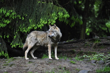 Wolfrüde (Canis lupus)