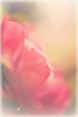 pink and red rose soft sweet color, vintage style background