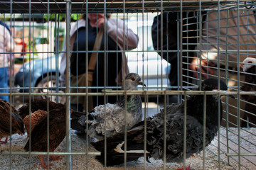 Pigeons in a cage in the poultry market in Paris