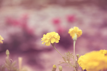 Marigolds or Tagetes erecta flower in  garden with retro effect