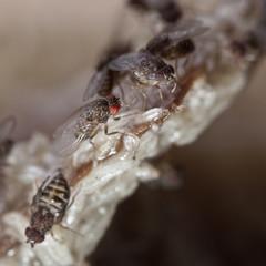 fruitfly on the wild nature (Drosophila Melanogaster)