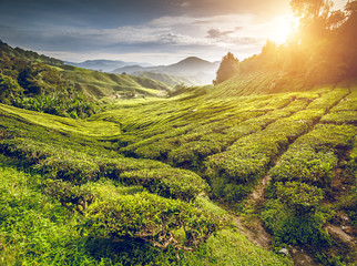Tea plantation in Cameron highlands Wall mural