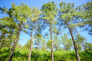 pine tree forest against blue sky