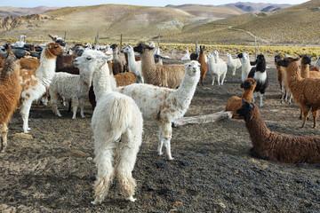 Flock of  Llamas in northern Argentina