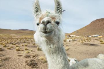 Closeup of a Llama in northern Argentina