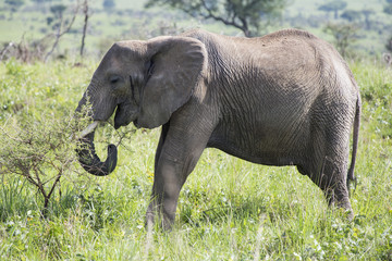 African Elephant grazing in the Murchison Falls National Park in Uganda, Africa