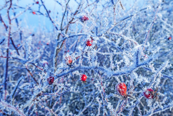 frozen hips - beautiful winter picture