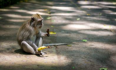 Monkey with fruit, Bali, Indonesia
