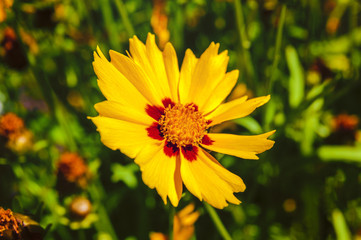Close-up of bright yellow flower on meadow