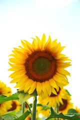 Beautiful sunflower (Helianthus) under bright sun lights