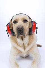 Labrador su sfondo bianco con cuffie