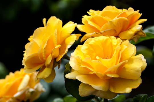 Yellow roses in a rose garden