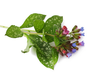 Lungwort medicinal (Pulmonaria officinalis) isolated on white