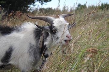 Goat Meadow