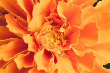 Marigold flower close-up