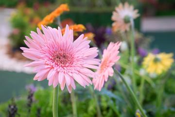 gerbera flowers blooming 1