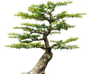 bonsai tree isolated  1