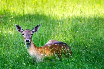 Young deer on a green grass in a forest in summer.