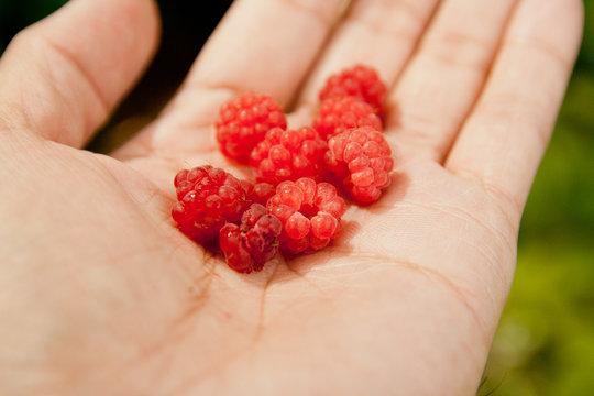 Fresh Wild Raspberries