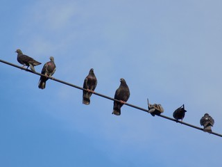 Pigeons on cable