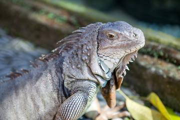 Iguana from Bali.