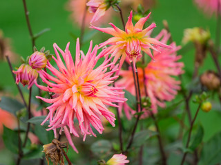 Chrysanthemum flowers, autumn background.