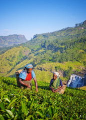 Sri Lankan Women Picking Tea Leaves Concept