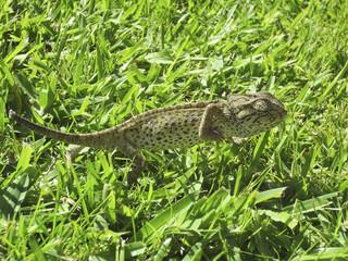 Camaleón andando sobre la hierva