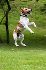 Dog jump into the air.