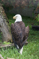 Bald Eagle with his back to the camera