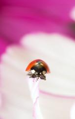 Ladybug, Coccinella septempunctata on garden cosmos