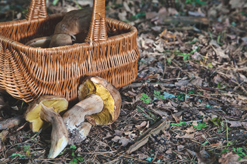 Joy of mushroom picker. Fresh porcini mushrooms in forest.