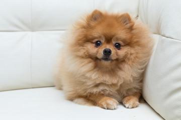 puppy pomeranian dog cute pets