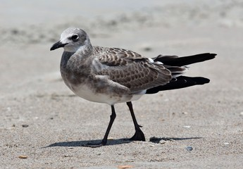 How Now Brown Gull