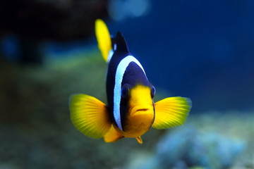 Aquarian fish of Amphiprion clarkii
