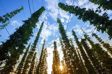 Common hop against blue sky, lit by sunlight