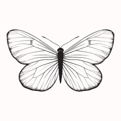 Hand drawn vector butterfly, isolated on white