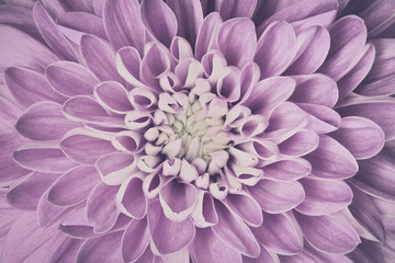 Dahlia flower petals pattern close-up. Vintage, faced floral background