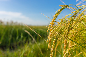 Rice growing in a field