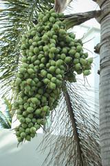 Green ripe arecanut palm, Betel nut palm or Betel nuts on tree
