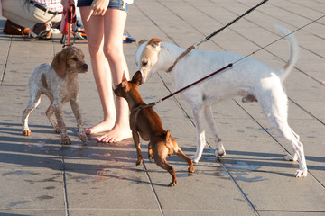 Three dogs  on the city walk with  a young girl  from low angle