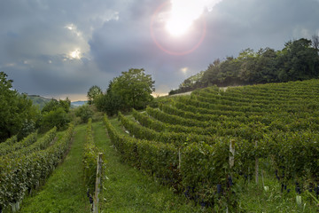 "Monferrato: ""Barbera"" vineyards backlight. Color image"