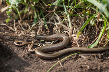 Slowworm (anguis fragilis) with young