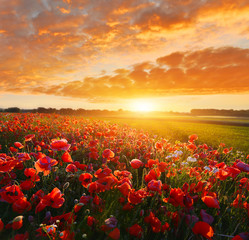 Photo sur Plexiglas Orange eclat Sunrise poppy field