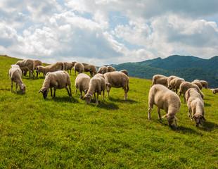 Grazing sheep near Sulovské sklaly - Súľov, Slovakia