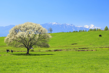 Blooming Pear Tree in Yatsugatake farm, Yamanashi, Japan