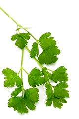Italian Parsley on White Background